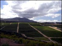 Thandi vineyards