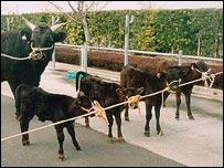 Vacas clonadas en Japón (Yang/PNAS)