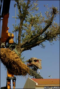 An olive tree is removed from a settler's house in Gaza to be taken to Israel