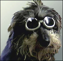 Miniature wirehaired dachshund wears sunglasses (Rusbridge and Minassian)