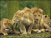 A pride of lions at Knowsley Safari Park