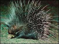 Porcupine in Kenya (MARK BOULTON)