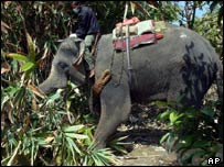 An elephant used for searching in Bang Niang, Phang Nga province, Thailand