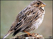 Corn Bunting
