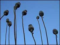 Dead poppies, Ed Heaver