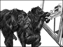 A chimpanzee watches her mother. Drawing by Amy Whiten.