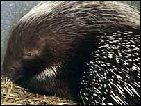Picture of the porcupine