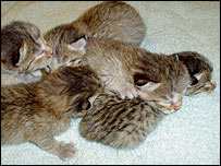 Wildcat kittens lie together.  Image - Audubon Center