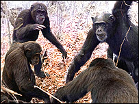 Chimpancs en grupo