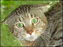 Ditteaux, padre de los gatos clonados.