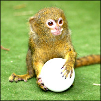 Pygmy marmoset: picture courtesy Newquay Zoo