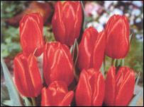 Tulip John Peel