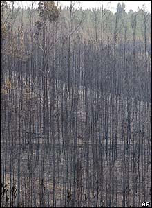 Burnt pine trees near the town of Abrantes, 50 miles (80km) north of Lisbon