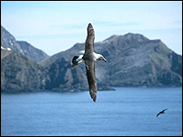 Grey-headed albatross (Image: British Antarctic Survey)