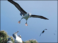 Grey-headed albatross (Photo: Norman Cobley)