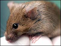 A Laboratory rodent, BBC