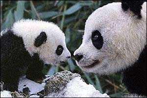 Mother and baby panda, Sichuan, China ©stevebloom.com