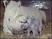 A northern white rhino and her newborn calf in a Czech zoo