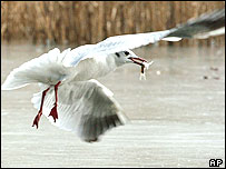 Image of a seagull flying