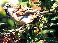 Sparrow   BBC