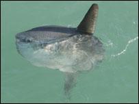 Ocean sunfish: copyright Janet Baxter