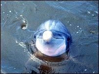 Bottlenose dolphin, Noaa