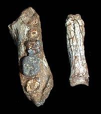 Fósiles de entre 4.5-4.3 milliones de años encontrado en Etiopía, Foto: Sileshi Semaw