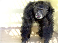 Clint the chimp, Yerkes National Primate Research Center