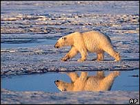 Polar bear on melting ice   AP