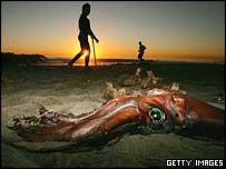 A dead squid washed up on Newport Beach, Orange County, California