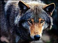 Grey wolf   WWF-Canon/Chris Martin Bahr