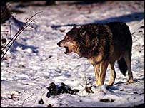 Grey wolf in snow   WWF-Canon/Roger LeGuen