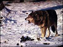 Grey wolf in snow   WWF-Canon/Roger LeGuen
