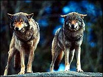 Two grey wolves   WWF-Canon/Chris Martin Bahr