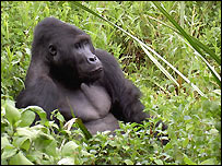 Gorilla in Kahuzi-Biega National Park in DR Congo.  Born Free Foundation