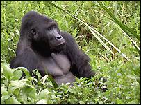 Gorilla in Kahuzi-Biega National Park in DR Congo.  Born Free Foundation