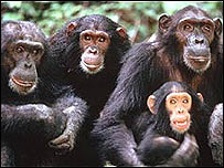 Familia de chimpancés.