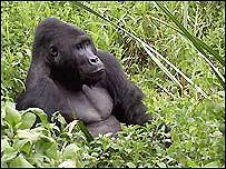 Gorila en Parque Nacional de la RD del Congo.