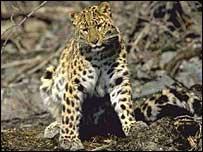 Leopardo Amur en su h�bitat natural
