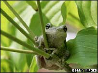 A tree frog (library)