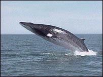 Whale, BBC