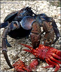 Robber crab (birgus latro), Current Biology