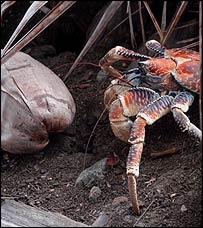 Robber crab (birgus latro), Current Biology