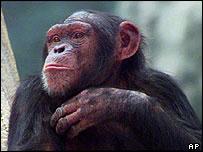 Chimpanzee, AP