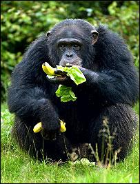 Chimpanzee, PA
