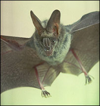 The Greater False vampire bat Megaderma lyra, photographed in India     Image: Paul Bates