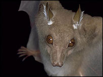 The Little Epauletted bat Epomorphorus minimus, photographed in Ethiopia     (Image: Paul Bates)