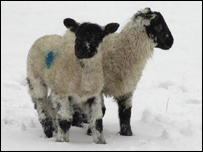 Image of lambs