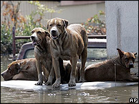 Varios perros atrapados por las inundaciones, esperan por sus amos en el techo de un vehculo.