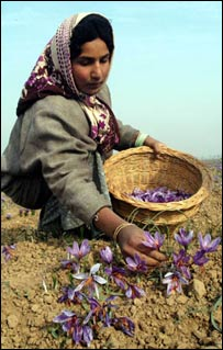 Kashmiri woman collecting saffron in a field